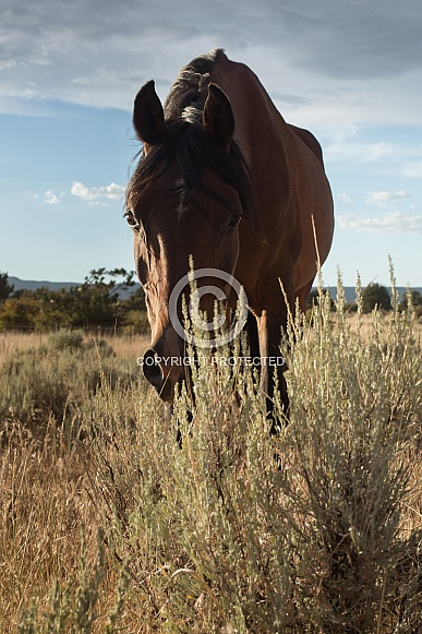 Equus caballus, horse