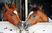 Foals in Stables