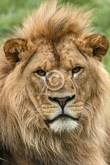 Young Male African Lion Portrait