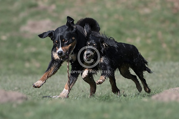 Appenzeller Sennenhund and Mongrel Dog (origin breeds unknown)