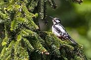 Woodpecker (Picidae)