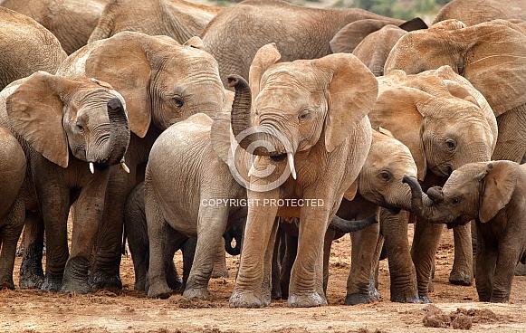 Juvenile Elephant Group