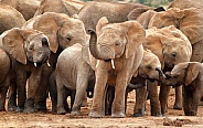 Juvenile Elephant Group
