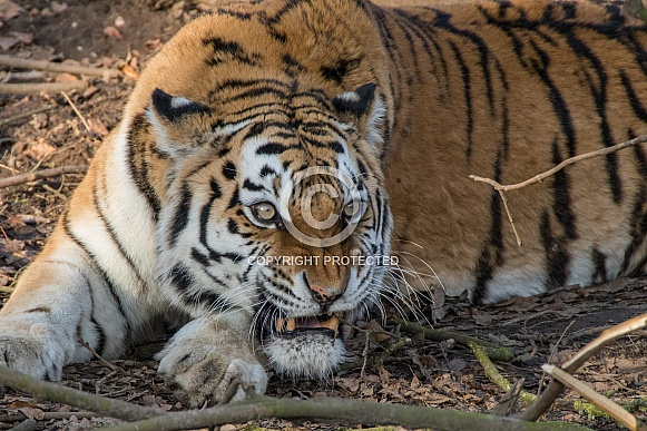 Siberian/Amur Tiger (Panthera Tigris Altaica)