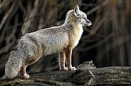 Corsac fox