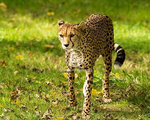 cheetah, adult female