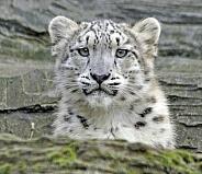 snow leopard cub 1