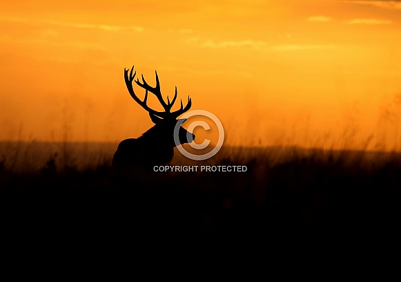 Red Deer Stag Silhouette at Dusk