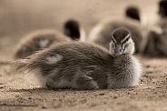 Australian wood duck duckling (wild).