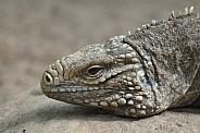 Cuban Rock Iguana
