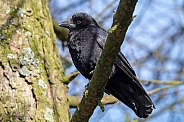 Carrion (Corvus corone)