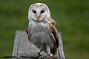Barn Owl Full Body Facing Camera