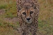 Cheetah Facing Camera Face Shot