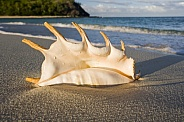 Shell on a tropical beach - Fiji - South Pacific
