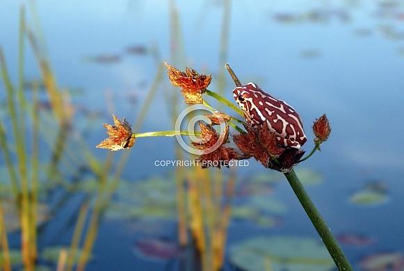 Painted Reed Frog - Okavango Delta