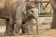 Young Asiatic Elephant Standing Full Body