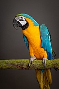 Macaw, face side on