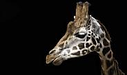 Rothschild's Giraffe Side Profile Black Background