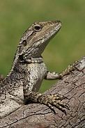 Jacky Dragon (wild)