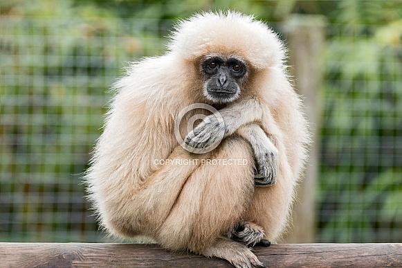 Lar Gibbon Sitting