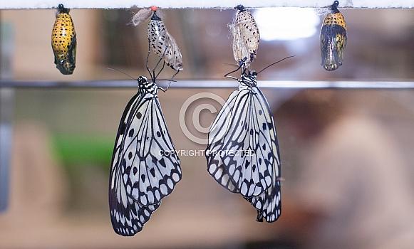 Paper Kite butterflies, Idea leuconoe