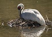 White-naped Crane on the Nest