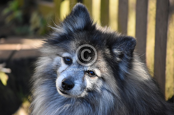 German Spitz Dog