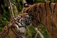 Two Sumatran Tigers Rubbing Heads