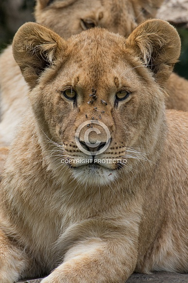 Young African Lioness (Panthera Leo)