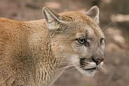 Canadian Cougar
