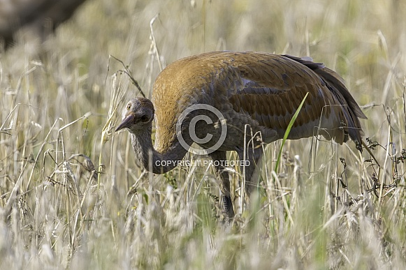 Immature Lesser Sandhill Crane Eating in a Barley Field