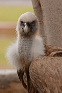 Eurasian griffon Vulture Close up