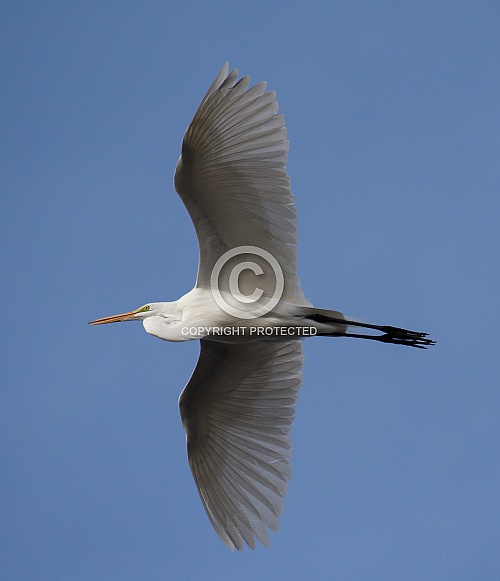 Great egret flying high in the sky