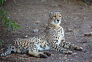 Cheetah resting in the shade
