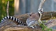 Lemur With Baby