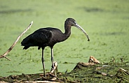 Glossy Ibis in the water with algae