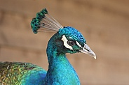 Peacock (Male)