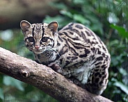 Margay on Branch