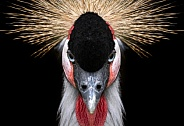 African Crowned Crane Close Up