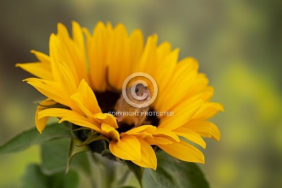 Harvest Mice on Sunflower