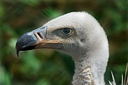 Griffon Vulture Head Shot