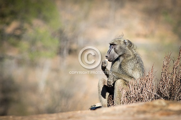 Baboon relaxing