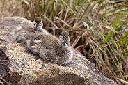 Australian wood duck chicks
