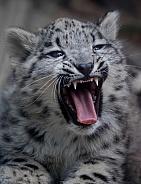 Snow leopard cub yawning