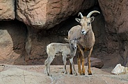 Bighorn Sheep - Lamb and Ewew