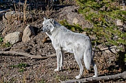 Grey Wolf In White Phase