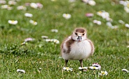 Egyptian Goose Chick