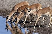 Impala drinking at a waterhole - Namibia
