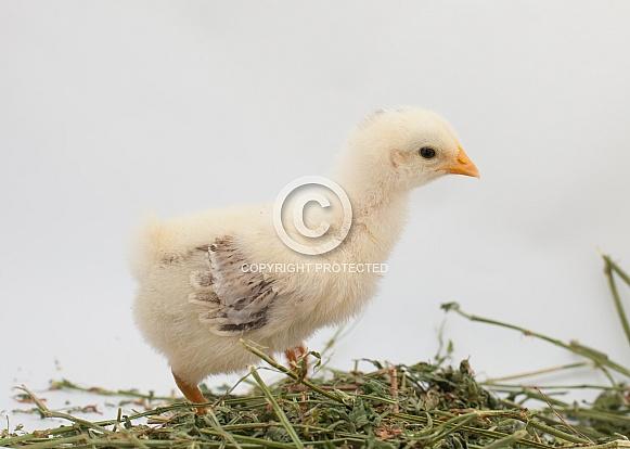 Gallus gallus, domestic chicken