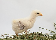 Gallus gallus, domestic chicken